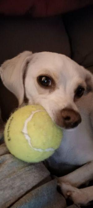 Linus Chihuahua Dog