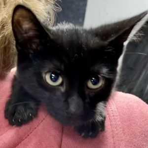 Looking for a pair of SWEET PLAYFUL KITTENS FINCH  HAWK L are a BONDED PAIR of beautiful black s