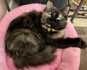 PARIS L is a sweet affectionate adult tortie calico girl with long flowing hair and a fluffy tail