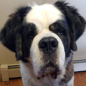 Sweet Saint Bernard girl Emma is ready to join her forever family Emma is a 7y old 100lb gal who