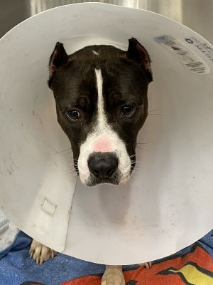 Sweet Jake spent nearly two weeks at Miami Dade Animal Services with multiple fractures At risk of