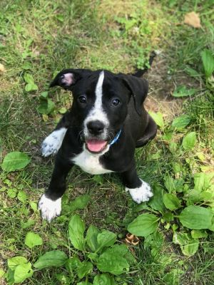 Meet Albert an 12 week old 20 pound as of 723 adorable labpittie mix This delightful puppy i