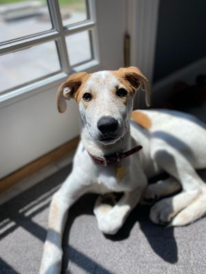 Meet Evan a 12 week old 20 pound as of 712 adorable lab hound mix This delightful puppy is s