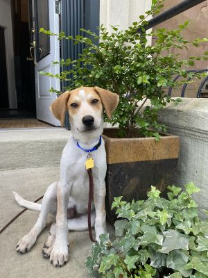 Well hello there handsome Elroy is a fun-loving 3-month old 16-pound LabHound mix who wants to e