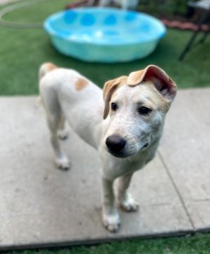Dahsing Ellison is a 3-month old 28-pound Labhound mix who will be your best friend in minutes El