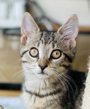 Jill Domestic Short Hair Cat