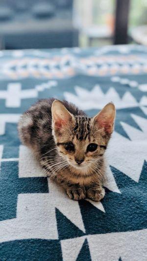 Jacalyn Domestic Short Hair Cat