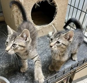 JOEY  TONY L are a pair of SWEET PLAYFUL KITTENS They are both very playful love being petted a