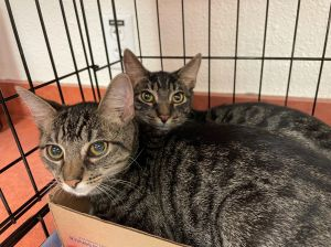 Meet Priscillas boys PERCY PJ and PIERCE They are a sweet playful bunch of kittens who would mak