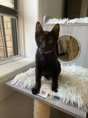 Meet Purple an 12 week old 3 pound as of 725 delightful DSH kitten He is sweet soft and sup