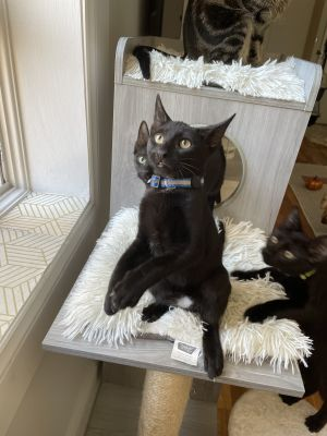 Meet Blue an 12 week old 3 pound as of 725 delightful DSH kitten He is sweet soft and super