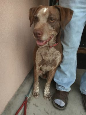 Meet Duke Duke is a very handsome Pointer French Pointer mix He is about 6-7 years old He loves