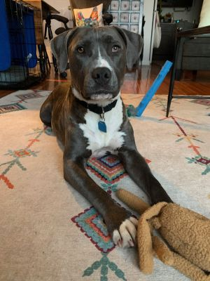 Meet Roxanne a 3 year old 52 pound wonderful pit bull terrier mix This endearing pup is soft sw