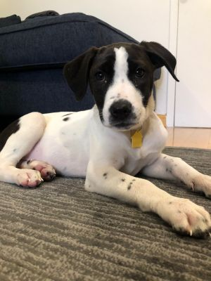 Meet Carmella a 12 week old 16 pound as of 714 adorable AussieBeagle mix This delightful pup
