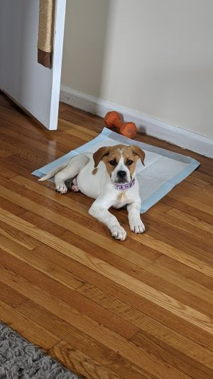Meet Cedric a 13 week old 14 pound as of 720 adorable AussieBeagle mix This delightful puppy
