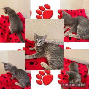 Say hello to Grayson Grayson is a sweet playful soft and cuddly cat He loves to sleep on your b