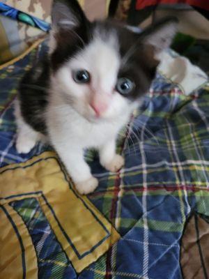 Hamilton Tuxedo Cat