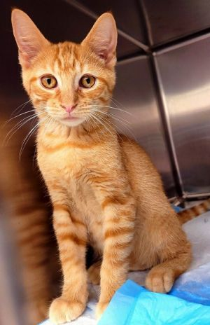 You are NOT having double visionPENN  TELLER L are a pair of spectacularly beautiful orange tabby