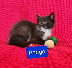 Rescued kittens - Pongo