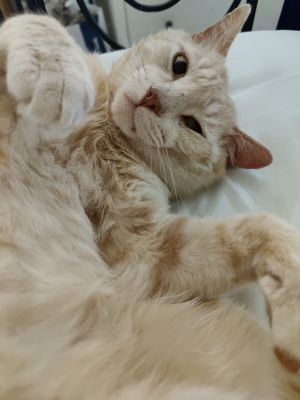 Mitsos Domestic Short Hair Cat
