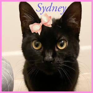 Sydney is a young girl who is just a perfect kitty She loves being held shell sit in your lap