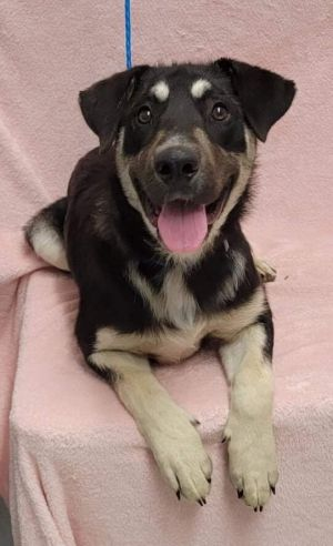 Meet Odin a 2 year old 56 pound adorable shepherdhusky mix This delightful pup is soft sweet