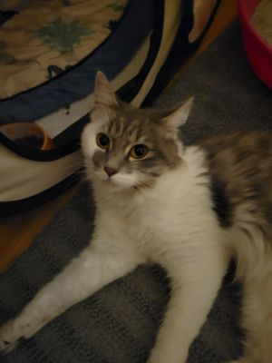 Mocha Norwegian Forest Cat Cat