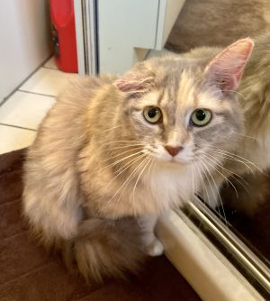 Mia is a young spayed pastel calico Very sweet and affectionate ready for her permanent home She i