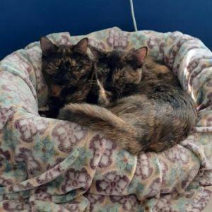 Souchong Domestic Short Hair Cat
