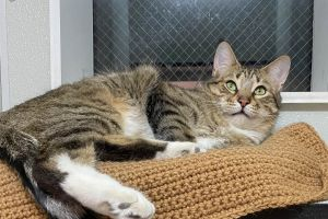 Handsome Mushball Seeking Happy Home Meet Preston a 4-year-old tabby with the softest fur and stun