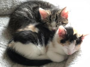 Kittens for Adoption Meet Aruba and Kona These beautiful island kitties are now 12 weeks old and r