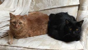 Trick & Treat Domestic Short Hair Cat