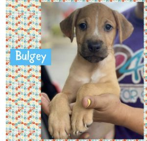Bulgey