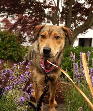 Hazel Shepherd Dog