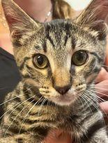Miami FL Tabby kitty 1