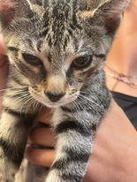 Boca FL Tabby kitty 3