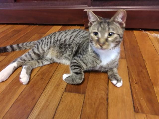 Boca FL Tabby kitty 1