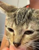 Augustine FL Tabby kitty