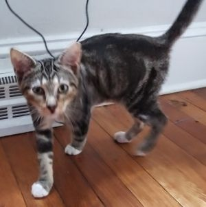Meet 5m old Augustine a sweet female Classic Tabby member of the Florida family