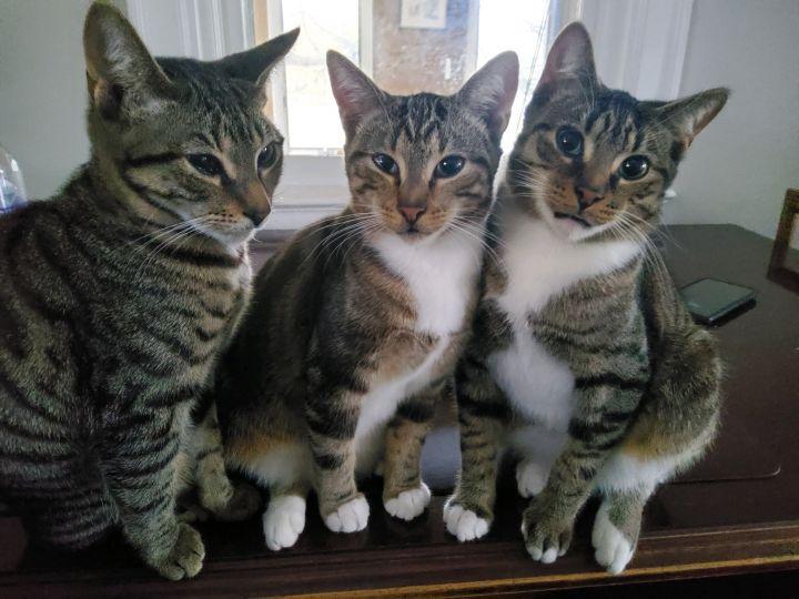 Pensacola FL Tabby kitty 3
