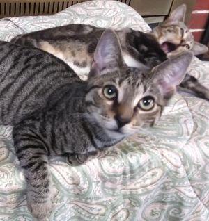 Pensacola FL Tabby kitty