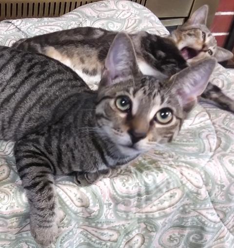 Pensacola FL Tabby kitty 1