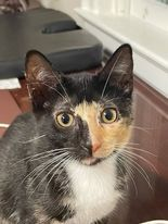 Cocoa FL Calico kitty 1