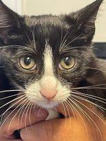 Jackson FL Tux kitty
