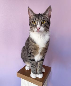 PERRY MUST BE ADOPTED TO A HOME WITH ANOTHER YOUNG PLAYFUL CAT  APPLICATIONS WILL NOT BE REVIEWED