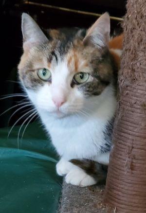 Ella Domestic Short Hair Cat