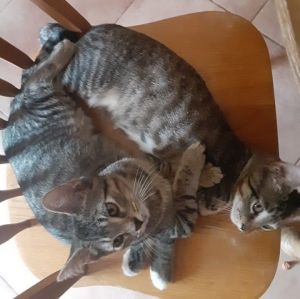 Sweet and super cute Hope and Love the tabby brothers promise to bring all that and more into your