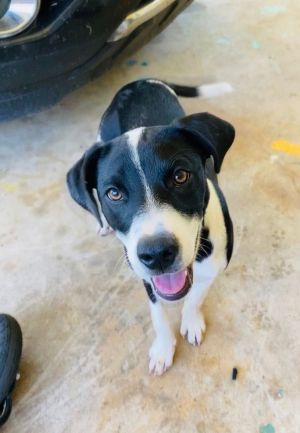 Hi my name is Dottie I am a 4 month old LabCollie mix I weight about 25 pounds right now