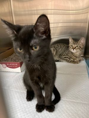 This bonded kitten duo is absolutely adorable A kind woman brought in their feral mom when she noti