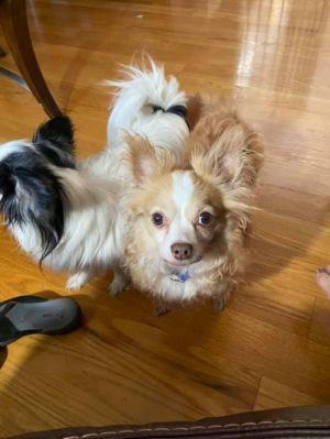 Mr. Pibbs (GA) Chihuahua Dog